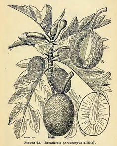 Drawing of breadfruit plant and fruit (the cargo of HMS Bounty), from Emergency food plants and poisonous plants of the islands of the Pacific, by Elmer Drew Merrill (Arnold Arboretum, Harvard University), United States War Department, U.S. Government Printing Office, 1943. Full text available from the Internet Archive.