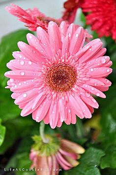 Life At Cobble Hill Farm: gerber daisies Beautiful Rose Flowers, Home Flowers, Exotic Flowers, Purple Flowers, Flower Names, Gerber Daisies, Hybrid Tea Roses, Peonies Garden, Annual Flowers