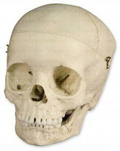 WBC-183: ≈ 5-year-old Human Child Skull - Dentition Exposed, Calvarium Cut (Bone Clones)