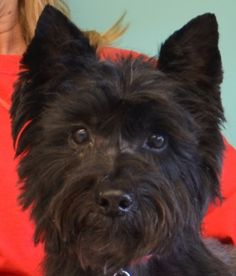 Cairn Terrier.  Perfect beady eyes and black button nose :) I love the Cairn face!