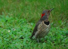 Northern Flicker: Here is my picture of a Northern Flicker, well I have many. They hang out  on my lawn from spring to fall, we have a sandy soil and lots of ants to attract