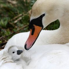 Swans...I love this pic. The signet (baby swan) rides on the mother's back when in the water, until it can be ready itself.