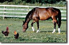 Chickens, Ducks, and Horses