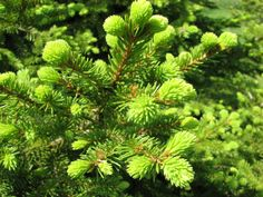 Rich's Foxwillow Pines Nursery, Inc. - Picea abies – 'Witches' Broom Seedlings'Norway Spruce