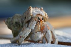hermit crab by andreasgraemiger, via Flickr