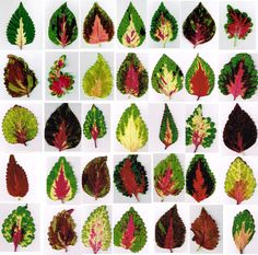 Sampler Of Last Year's Coleus Leaves. I've Been Cleaning Chaff From My Coleus Seed Harvest, Dreaming Of Next Year's New Plants. At the point when I'm Finished The Tedious Task, I'll Place The Seeds In The Refri. Gardening For Beginners, Gardening Tips, Shade Garden, Garden Plants, Coleus, Jardin Decor, Plantation, Shade Plants, Outdoor Plants