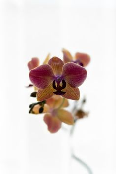 Orchid Images, Flower Images, Flower Photos, Moth Orchid, Wild Orchid, Pink And White Flowers, Orange Flowers, Orchid Flowers, Purple Orchids