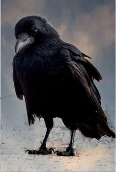 Quoth The Raven, Raven Bird, Raven Pictures, Bird Pictures, Crow Art, Bird Art, Rabe Tattoo, Crow Images, Jackdaw
