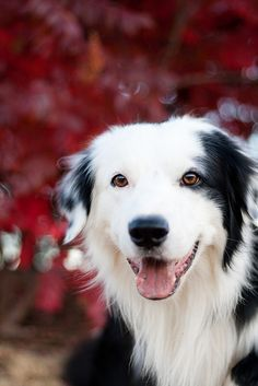 love the red background and that smile. #bordercollie