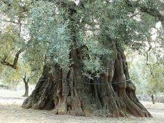 Olivo impresionante en Salento (Italia) con más de 1.000 años. Foto de Anna Rella.