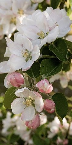 Michigan state flower - Apple Blossom (Victorian meaning - preference, better things to come, good fortune, promise) Spring Blossom, Cherry Blossom, Apple Blossoms, Amazing Flowers, Beautiful Flowers, Dame Nature, Arte Floral, Plantation, Flowering Trees