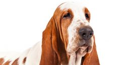 Right breed for you? Basset Hound information including personality, history, grooming, pictures, videos, how to find a Basset Hound and AKC standard.