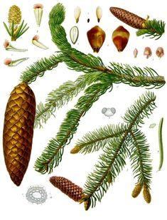 Illustration of Norway spruce (picea abies) Vintage Botanical Prints, Botanical Art, Vintage Art, Vintage Images, Illustration Botanique Vintage, Botanical Illustration, Plant Illustration, Conifer Trees, Evergreen Trees