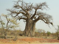 Senegal Teranga Vol 4 Le Baobab, Baobab Tree, Weird Trees, African Tree, Tree Images, Life Symbol, Beautiful Forest, Tree Wallpaper, Tree Of Life