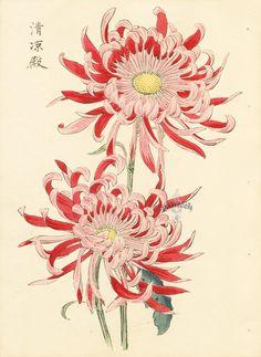 Keika Hasegawa Chrysanthemum Wood Block Prints    http://www.panteek.com/Kiku/pages/KIK008-132.htm