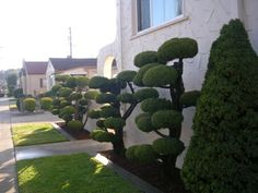 Need another pom pom topiary in the courtyard.  The other one is biting the dust :(