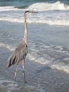 Blue Great Heron Herring Bird   Next is the Great Blue Heron, they are probably the least afraid of ...