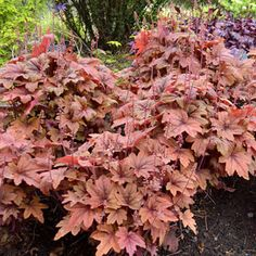 Heucherella Sweet Tea Foamy Bells: underplanting for Sweetbay Magnolia. Best time to plant not clear: ask