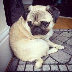When your fitness goals aren't quite on track #puglife