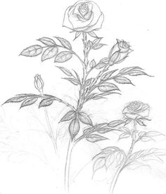 Rose pencil drawing-Option #1.  This is a simple sketch with very little detailed shading.  Here you are focused on drawing the roses and leaves with the right proportions and shapes to give the picture balance.  It is good practice for drawing flowers.