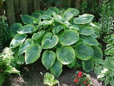 Learn More About Hosta U0027Olive Bailey Langdonu0027 (Plantain Lily)! Read Up On  This Plant Or Stop Into Sunnyside Gardens In Minneapolis To Talk To Our  Experts!