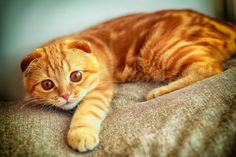 The Dwelf cat is a new cat breed. This cat includes the bald attribute of the Sphynx cat, the small thighs of the Munchkin kitten along with the curled ears of the American Curl. The result is a really unique-looking pet. Scottish Fold, American Curl, Yellow Cat, Orange Cats, Curl Americano, Dwelf Cat, Mom Cat, Sphynx Cat, Long Hair Cat Breeds