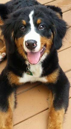 Pastor de Bernes, mt usado em filmes. Cute Corgi Puppy, Cute Puppies, Cute Dogs, Dogs And Puppies, Nature Animals, Baby Animals, Funny Animals, Cute Animals, Bernese Mountain
