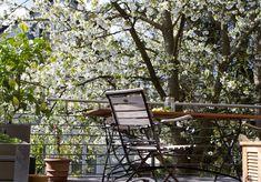 Der Kirschbaum blüht