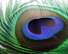 close-up Peacock Feather Photo