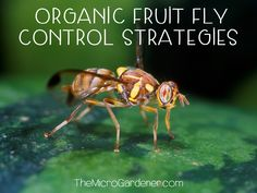 Find out how to get rid of fruit flies in your garbage disposal. Learn why cleaning the garbage disposal with baking soda and white vinegar will remove the yeast growth that attracts the flies. Also get tips on making a fruit fly trap. Fly Control, Pest Control, Fruit Fly Larvae, Fly Remedies, Edible Insects, Protein Fruit, Bees And Wasps, Fruit Flies, Fly Traps