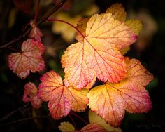 """""""Dew on Autumn Leaves"""" by Anjin_Nav."""