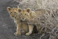 Lion cubs at Amakhosi, KwaZulu Natal