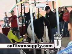The newest cattle fitting and showing techniques from Stock Show U.