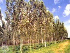 Picture of Eucalyptus camaldulensis, river red gum, increased vigour