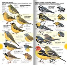 Laws Guide to Drawing Birds yellow birds