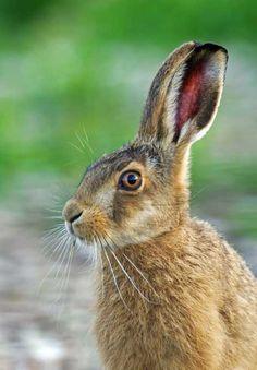 58. Hare  * (gebruikt voor eieren schilderen midden achter) *