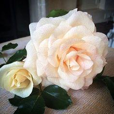 "56 Likes, 6 Comments - Estella kobow (@_stellaflora) on Instagram: ""... las rosas son bellas! #rosasdepapel ##crepepaperart #crepepaperrevival #crepepaperflowers"""