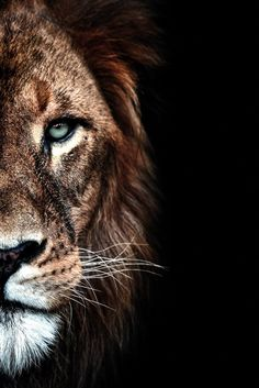 48217610 Looking for a lion poster? Posters on aluminum, plexiglass, canvas, hd with . - Looking for a lion poster? Lion Hd Wallpaper, Wild Animal Wallpaper, Tier Wallpaper, Dark Wallpaper, Iphone Wallpaper, Lion Images, Lion Pictures, Animals Beautiful, Cute Animals