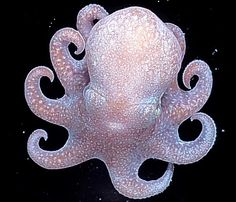 Megaleledone setebos, a shallow-water Antarctic octopus, is the closest living relative to the ancestor of deep-sea octopuses. A large proportion of deep sea octopus species worldwide evolved… Baby Octopus, Cute Octopus, Mimic Octopus, Octopus Squid, Beautiful Sea Creatures, Deep Sea Creatures, Animals Beautiful, Beautiful Things, Tier Fotos