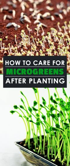 Once you plant your microgreen seeds, learn the few essential microgreens maintenance tips you need to do to take care of them and make sure you get a great harvest!
