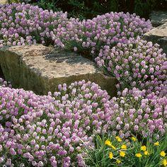 Sonne: Großblumiges Steintäschel - Bodendecker (Diy Garden Flowers)