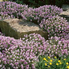 Sonne: Großblumiges Steintäschel - Bodendecker