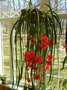 house plants identify by pic | Photo Courtesy of Frank Obermaier Blooms pop from notched branches in ...