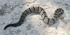 "Timber Rattlesnake ""Crotalus horridus"" Class: Reptilia Order: Squamata Family: Viperidae"