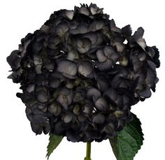 black hydrangea flower - this is a real hydrangea that is dyed or tinted with a special dark paint.  what a unique floral addition for a goth wedding,  halloween, or a just stunning centerpiece