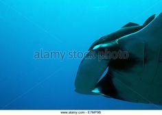 http://l7.alamy.com/zooms/7e0a34b9f44d4113bd4ac54591bc729e/close-up-of-a-pacific-manta-ray-manta-birostris-passing-by-cao-island-e7mp9b.jpg