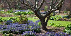 Photo by Andrew Lawson  Tom Stuart Smith  Forget me nots under the fruit trees