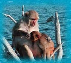 After you're finished snorkeling you can sit back and relax with a cold drink while watching some of the Rhesus monkeys playing up and down the shoreline. The island serves as a research center for the University of Puerto Rico and the National Institute of Health. Thanks to years and years of research, the Cayo population of rhesus monkeys represents one of the best studied populations of animals in the world., Puerto Rico with Sea Ventures Dive Centers Monique@PlumeriaBreezesTravel.com