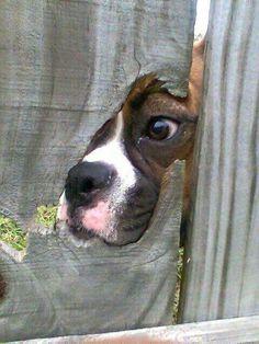 Agent Boxer _______(shhhh) Secret Investigator.