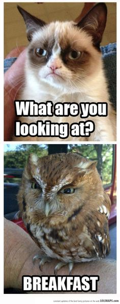 funny grumpy cat and owl. Humor Animal, Funny Animal Memes, Funny Animal Pictures, Funny Animals, Cute Animals, Funny Photos, Sports Pictures, Grumpy Cat Quotes, Funny Grumpy Cat Memes